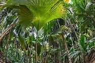 Tropischer Palmenwald im Nationalpark Vallee de Mai auf Praslin, Seychellen<br /> <br /> Tropical forest of palm trees in the national park Valle de Mai on Praslin, Seychelles