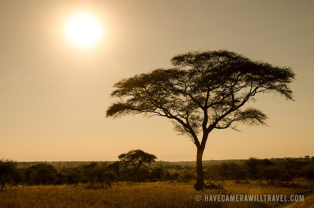 As the sign nears the horizon at sunset, an acacia tree stands out against the clear sky at Tarangire National Park in northern Tanzania not far from Ngorongoro Crater and the Serengeti.