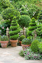 Topiary box spirals and bay standard balls around steps going from terrace to lawn