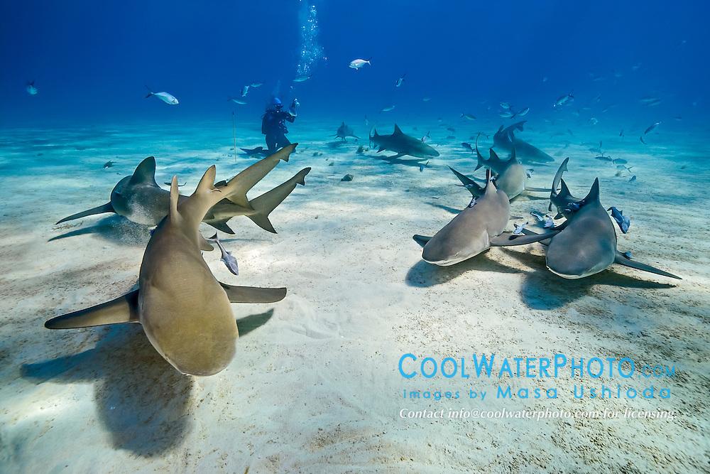 lemon sharks, Negaprion brevirostris, and scuba diver, Grand Bahama, Bahamas, Caribbean Sea, Atlantic Ocean, model released
