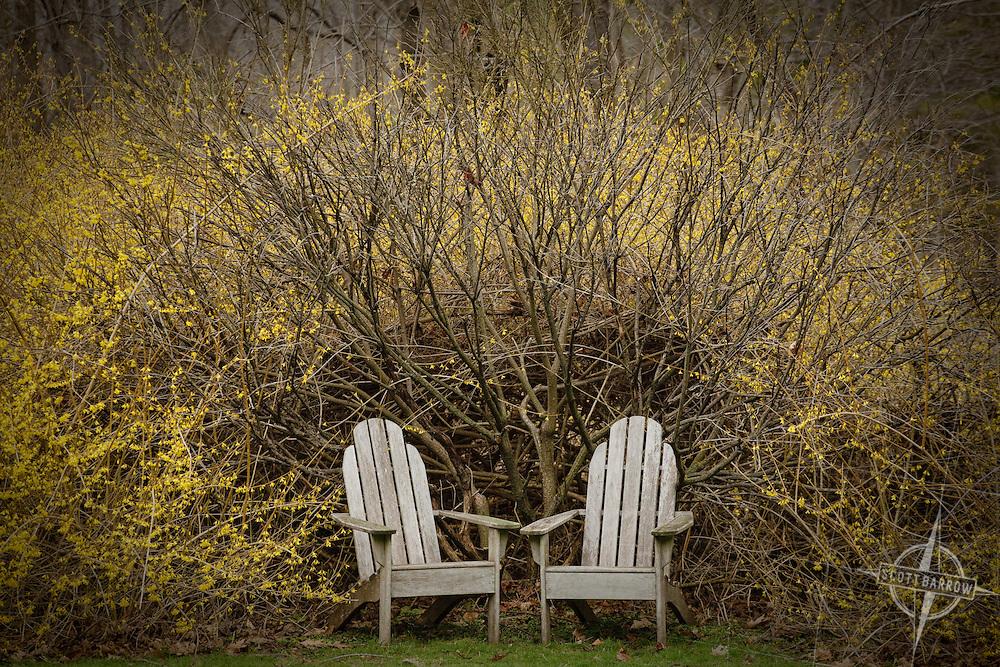 Adirondack chairs in forsythia bush.