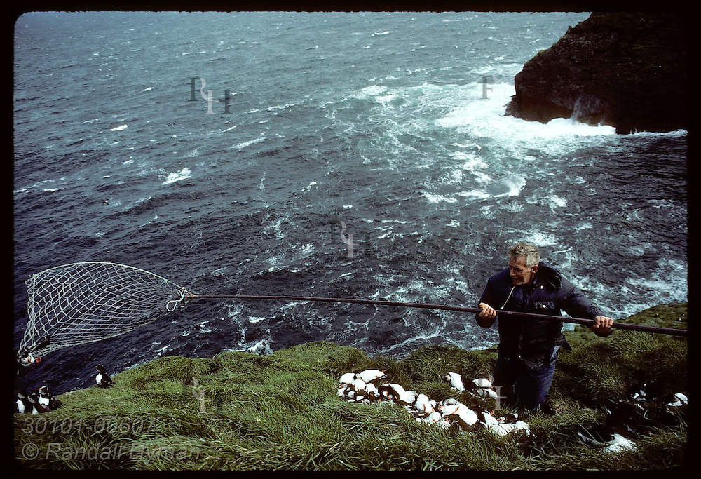 Westmann Islander pulls in puffin he snatched from air w/ 'hafur' net during July hunt; Bjarnarey Iceland