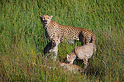 A female cheetah (Acinonyx jubatus)  teaching her cubs how to hunt and presenting them with a wildebeest calf  (Connochaetes) during the calving season of the great migration , Ndutu, Ngorongoro Conservation Area, Tanzania, Africa