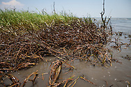 5/24/2010  Grass with BP oi  on it on a small barrier island in  Barataria Bay, Louisiana.