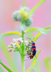Two beetles (stink bugs maybe?) do some acrobatics on a weed