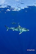 tiger shark, Galeocerdo cuvier, North Shore, Oahu, Hawaii, USA ( Central Pacific Ocean )