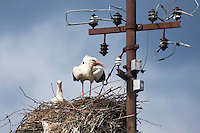 White stork (Ciconia ciconia) - male and female - hatching. Jasenovac village. Lonjsko Polje Nature Park. Ramsar Site. Sisack-Moslavina county. Slavonia region. Posavina area. June 2009. Croatia.<br /> Elio della Ferrera / Wild Wonders of Europe