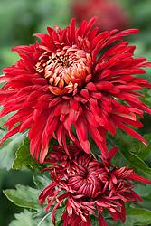 Chrysanthemum 'John Riley'