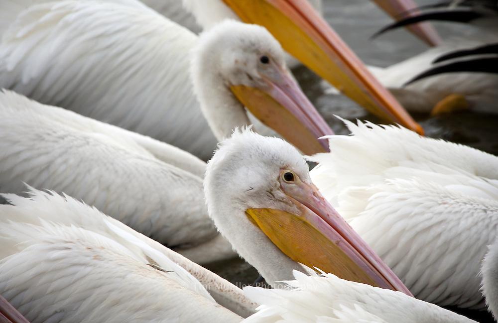 Each winter White Pelicans visit University Lake in Baton Rouge, L