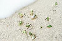 Feeding Ploughshare Snails, De Mond Nature Reserve, Western Cape, South Africa