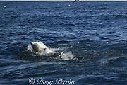copper shark or bronze whaler ( Carcharhinus brachyurus ) lunges through bait ball, grabbing a mouthfull of sardines, Sardinops sagax, during annual Sardine Run off the Wild Coast ( Transkei ) of South Africa at Mboyti ( Indian Ocean )