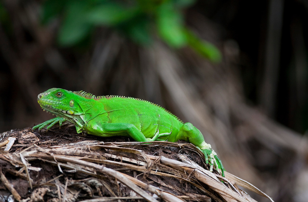 Pocone_MT, Brasil...Camaleao em Pocone no Pantanal, Mato Grosso...Chameleon in Pocone  in Pantanal, Mato Grosso...Foto: JOAO MARCOS ROSA / NITRO..