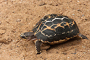 Spider Tortoise (Pyxis arachnoides)<br /> CAPTIVE<br /> ENDEMIC TO MADAGASCAR<br /> IUCN STATUS: CRITICALLY ENDANGERED