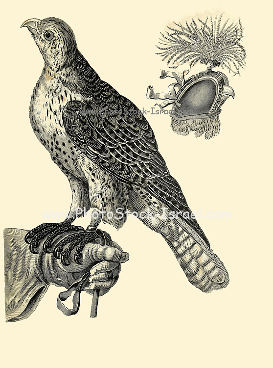 Habiliments of Falconry Copperplate engraving From the Encyclopaedia Londinensis or, Universal dictionary of arts, sciences, and literature; Volume VII;  Edited by Wilkes, John. Published in London in 1810