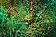 Torrey Pine cone (Pinus torreyana), Santa Rosa Island, Channel Islands National Park, California USA