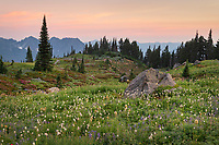Mount Rainier Paradise wildflower meadows containing  a mixture of Broadleaf Lupines, and American Bistort. Mount  Rainier National Park, Washington
