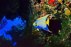 queen angelfish, Holacanthus ciliaris, in underwater cave, Cozumel, Quintana Roo, Mexico, Caribbean Sea, Atlantic Ocean