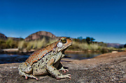 Red toad (Schismaderma Smith)<br /> Marakele Private Reserve, Waterberg Biosphere Reserve<br /> Limpopo Province<br /> SOUTH AFRICA<br /> Range: south-eastern regions of South Africa north to Tanzania & Zaire
