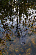 An alligator lies just below the surface ominously in front of the outline of stand of cypress trees reflected back in the swamp.