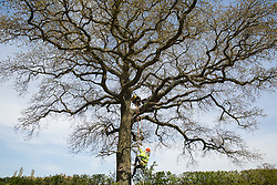 Quainton, UK. 26th April, 2021. Stop HS2 activists occupy a mature oak tree in order to try to prevent it and two other oak trees from being felled to construct a temporary access road for the HS2 high-speed rail link. Environmental activists continue to oppose the controversial HS2 infrastructure project from a series of protection camps along its Phase 1 route between London and Birmingham.
