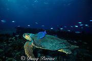 blue tang, Acanthurus coeruleus, feeds on algae growing on shell of loggerhead sea turtle, Caretta caretta, cleaning the turtle's shell, Bahamas ( Western Atlantic Ocean )