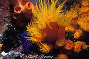 juvenile yellowtail damselfish or jewelfish, <br /> Microspathodon chrysurus, <br /> hiding under orange cup coral, Tubastrea aurea,<br /> Town Pier, Bonaire, Netherlands Antilles ( Caribbean )