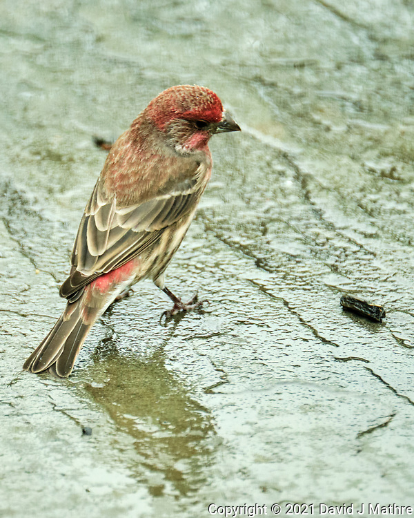 House Finch. Image taken with a Fuji X-T4 camera and 100-400 mm OIS<br />  lens.