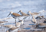 Dunlin and Semipalmated Sandpiper during spring migration and the ancient connection of shorebirds feeding at the shoreline on Horseshoe Crab eggs.<br /> Delaware Bayshore, Ted Harvey Wildlife Area
