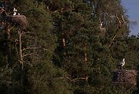 Pentowo, woj podlaskie, 18.06.2010. Gospodarstwo Henryki i Bogdana Toczylowskich ma tytul Europejskiej Wsi Bocianiej przyznawany przez niemiecka fundacje Euronatur. Co roku gniazduje tu ponad 20 par tych ptakow, w 2010 wyjatkowo 31 *** Pentowo is a great place to spend a summer holidays in for all bird lovers. This charming corner along with the city of Tykocin is a holder of a prestigious title of The European Stork Village. This title was given in 2001 by a German found EURONATUR. According to the foundation principles/ regulations, such a title may wear only one place in each country *** N/z gniazda bocianie na drzewach fot Michal Kosc / AGENCJA WSCHOD