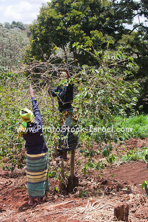 Woman picks coffee beans of a bush in a coffee plantation. Photographed in Kenya