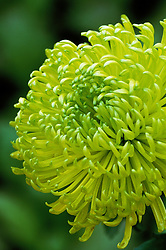 Chrysanthemum 'Shamrock'