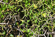 Close-up view of scrubby thorn bush in sandy soil - it's thorny interior provides a good hiding place for meerkats against ground predators, De Zeekoe Ranch, Outdshoorn, Western Cape, South Africa