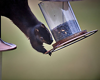 Black Squirrel Raiding the Bird Feeder. Image taken with a Nikon D5 camera and 600 mm f/4 VR telephoto lens (ISO 560, 600 mm, f/4, 1/640 sec)