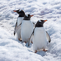 """Three gentoo penguins pause on a penguin """"highway"""" in the snow on Petermann Island, Antarctica."""