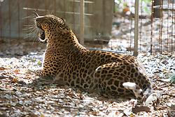 Leopard, Big Cat Rescue