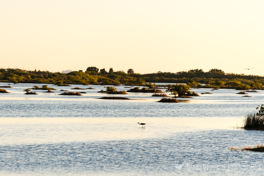 US, Florida, Merritt Island National Wildlife Refuge, Black Point Wildlife Drive. Reddish Egret.
