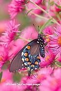 03004-00807 Pipevine Swallowtail (Battus philenor) on New England Aster (Aster novae-angliae 'Alma Potschke')Marion Co.  IL