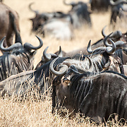 A sitting wildebeest herd at Ngorongoro Crater in the Ngorongoro Conservation Area, part of Tanzania's northern circuit of national parks and nature preserves.