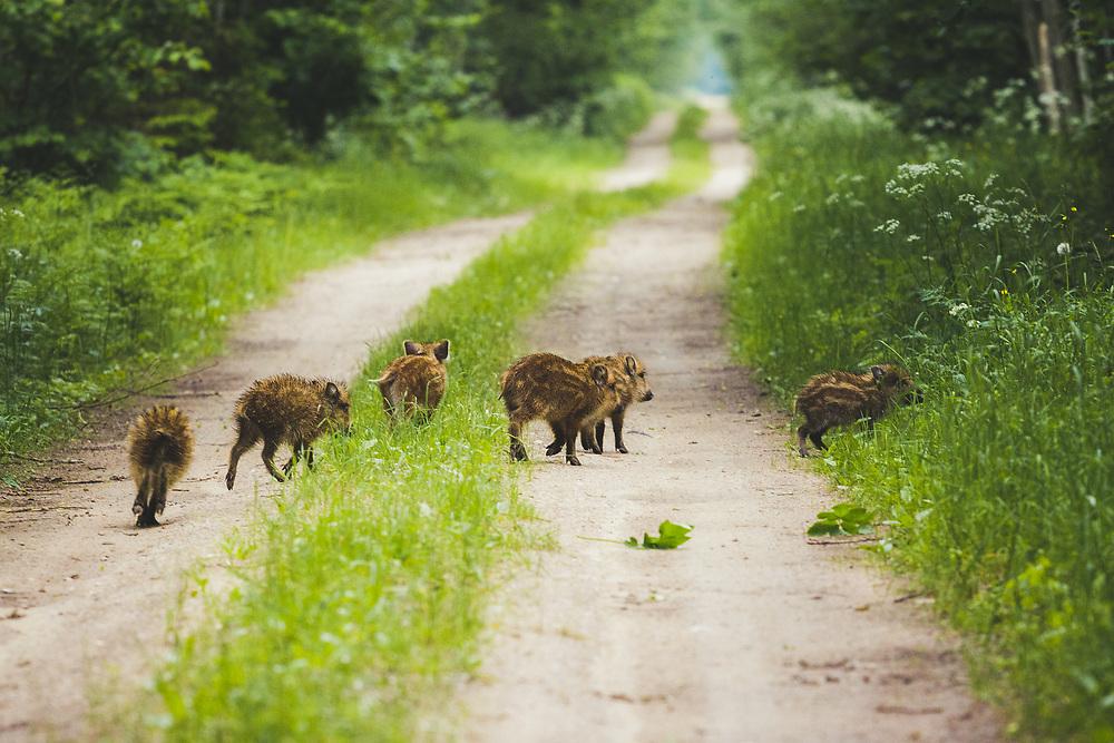 Wild boar (Sus scrofa) piglets, Ķemeri National Park, Latvia Ⓒ Davis Ulands   davisulands.com