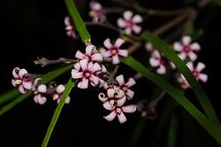 Parsonsia capsularis var. rosea