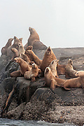 Steller Sea Lions, Eumetopias jubatus, an endangered species, congregate on a rocky island north of Vancouver Island, British Columbia, Canada.