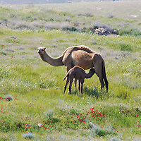 Fauna - Camels