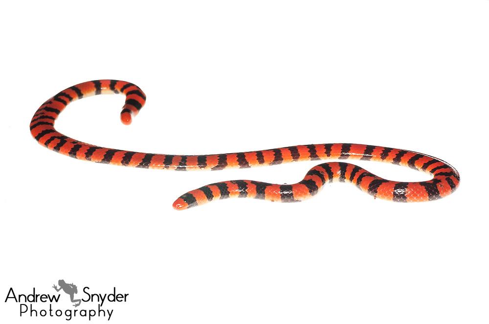 Coral pipe snake, Anilius scytale, Iwokrama, Guyana, July 2013