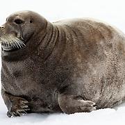 Bearded seal (Erignathus barbatus) resting on ice in Svalbard. Bearded seals are primary prey for polar bears