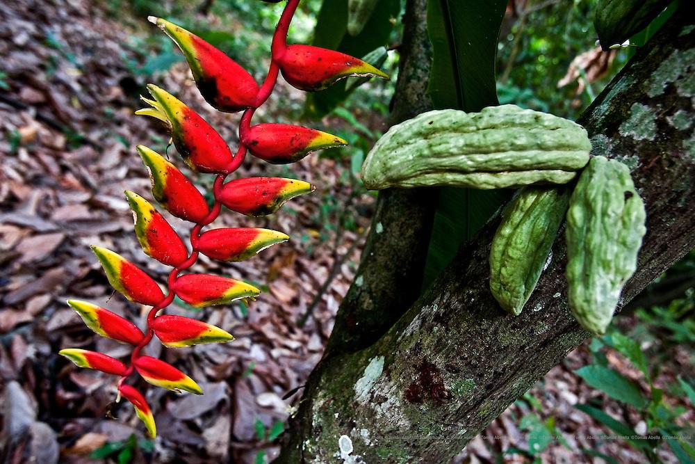 Saving Mexican criollo cocoa (Royal Cocoa of Soconusco).<br /> <br /> A variety of the mythical Royal Cocoa of Soconusco: lagarto cocoa.