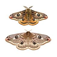 Emperor Moth - Saturnia pavonia<br /> 68.001 (1643)