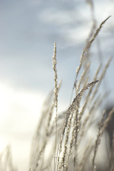 Tall prairie grass with seed-filled tips are blown by strong winds on a mildly cloudy summer afternoon