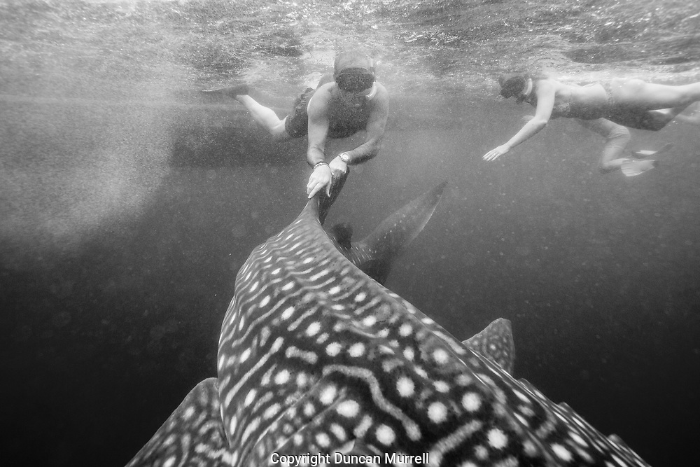 Spanish tourist hanging on to the dorsal fin of a whale shark (Rhincodon typus) after being told that it was prohibited, Honda Bay, Palawan, the Philppines.