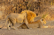 Lion and lioness mating, Grumeti, Tanzania, East Africa RESERVED USE - NOT FOR DOWNLOAD -  FOR USE CONTACT TIM GRAHAM