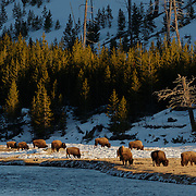 A small group of bison (Bison bison) graze along the edge of the Madison River in Yellowstone National Park.